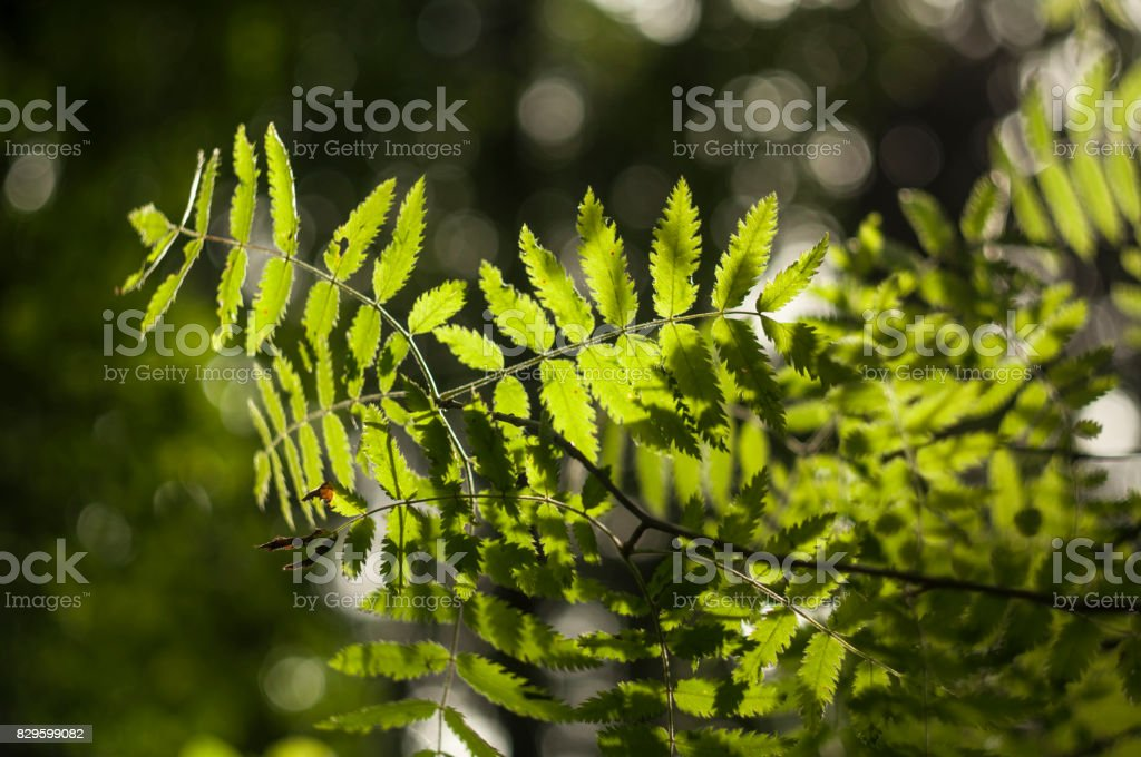 Ashberry leaves 3 stock photo