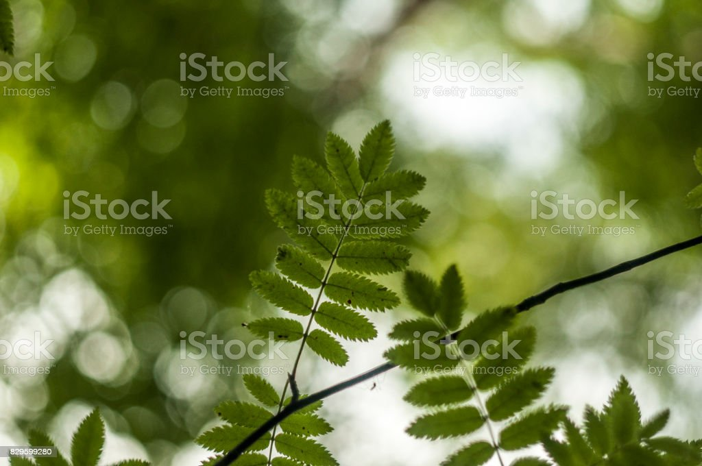 Ashberry leaves 4 stock photo