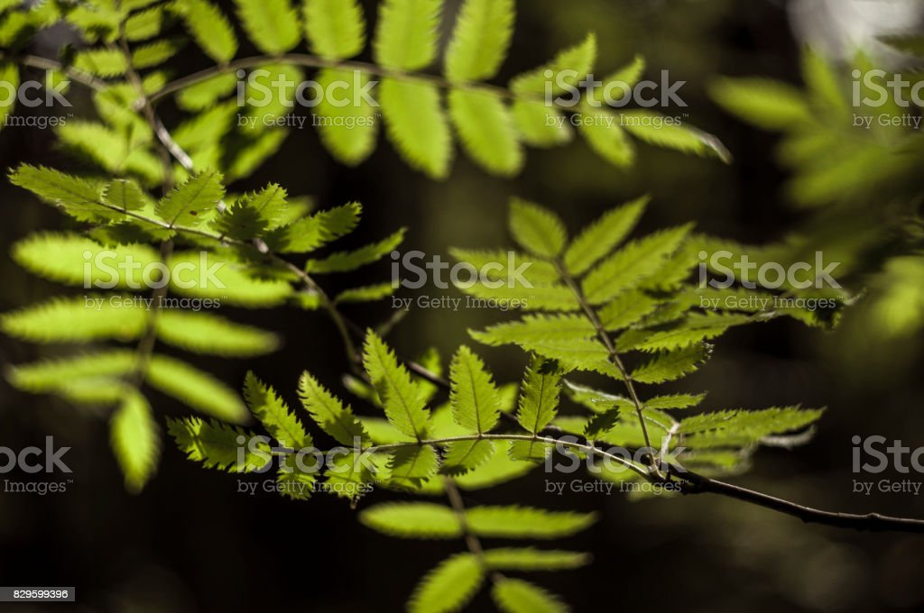 Ashberry leaves 5 stock photo