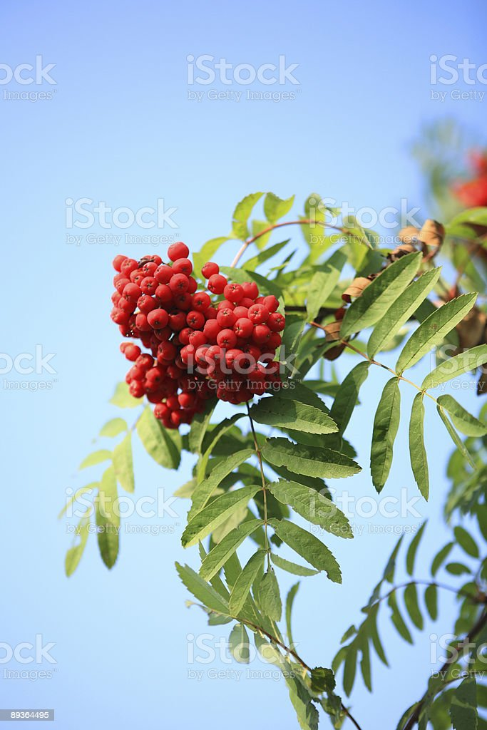 ashberry royalty-free stock photo