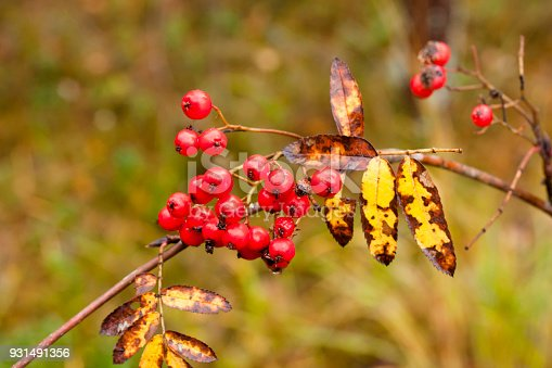istock Ashberry with drops of water close-up in autumn. 931491356