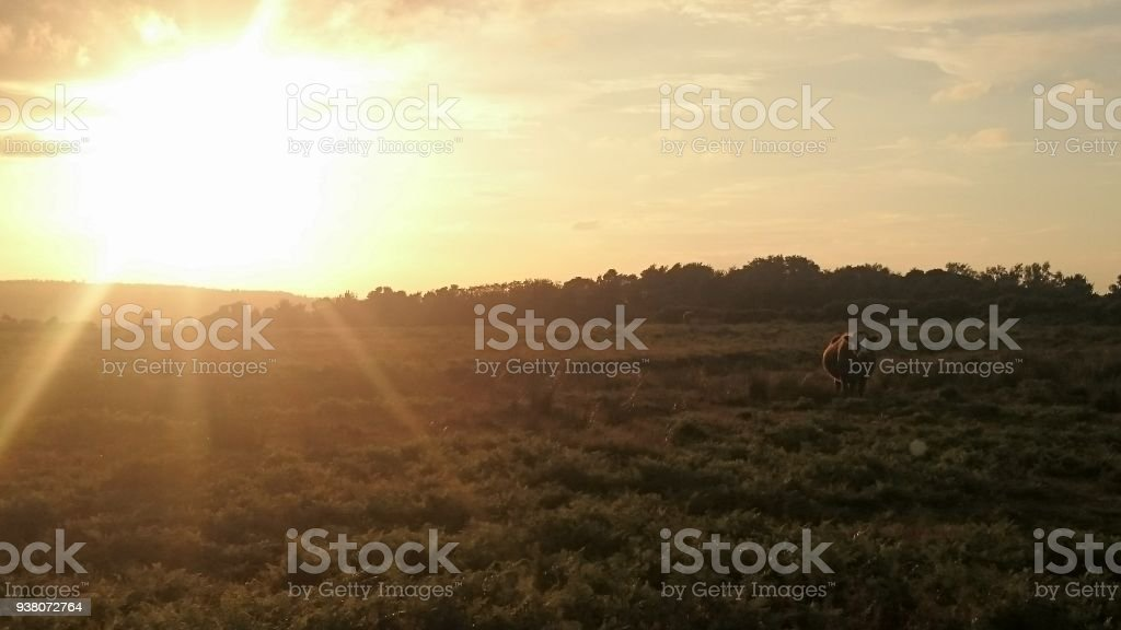 Ashdown forest, cow stock photo
