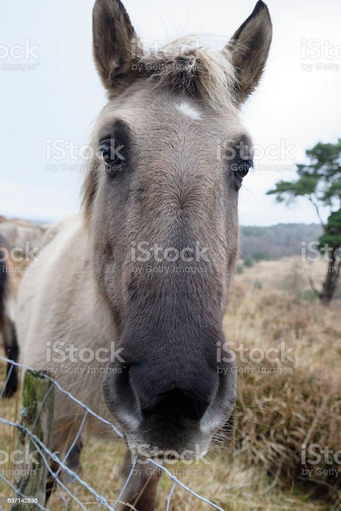 Ashdown Forest Pony stock photo