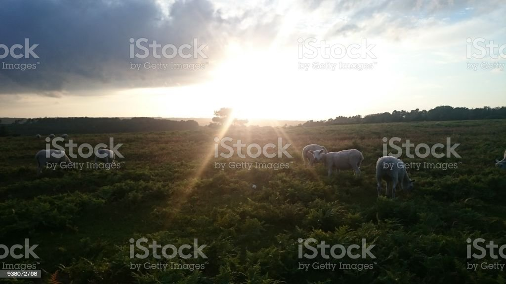 Ashdown forest, sheep stock photo