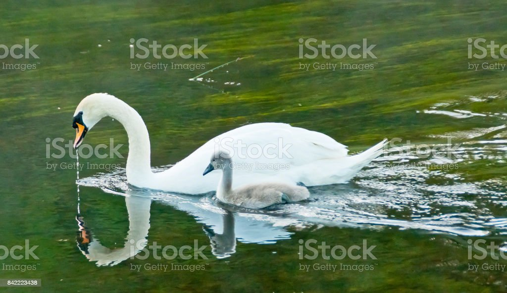 Ashford Castle Swan and Cygnet stock photo