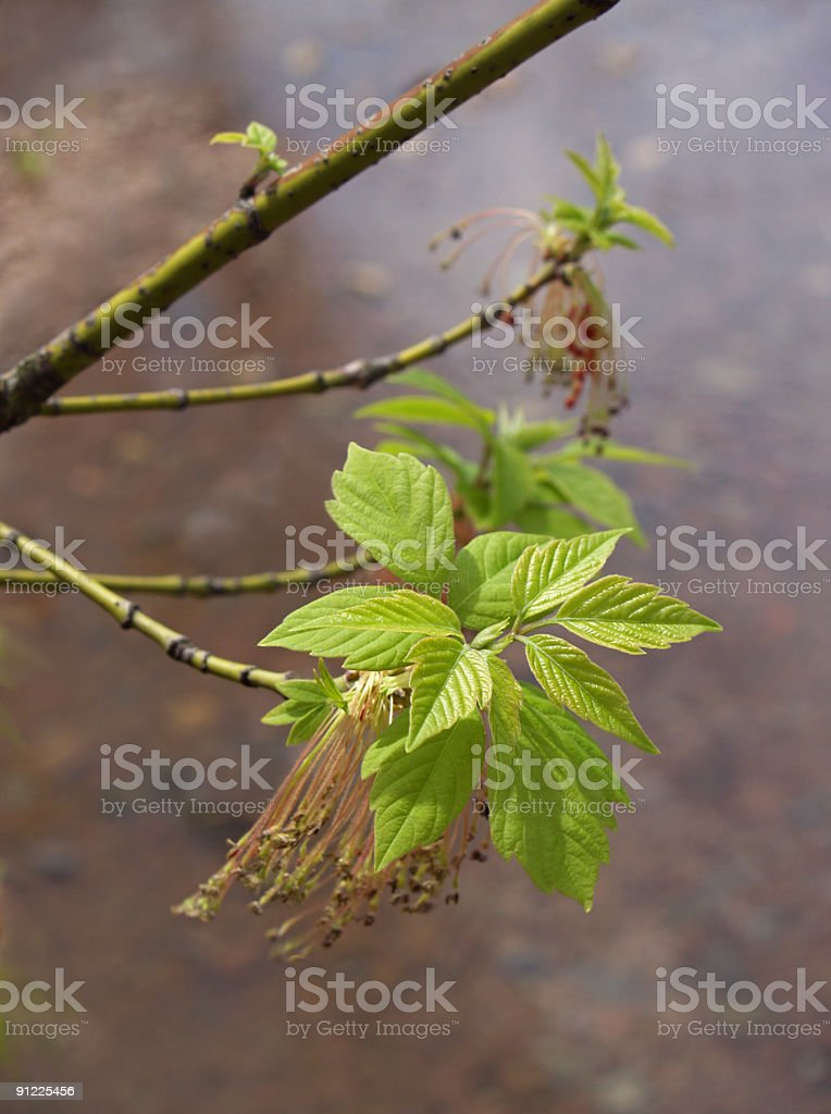 Ashleaf Maple or Boxelder with Spring Leaves and Seeds stock photo