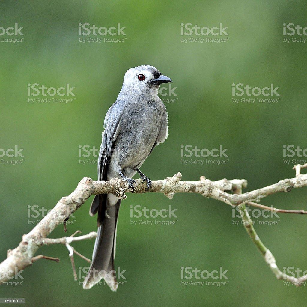 Ashy Drongo (Dicrurus leucphaeus) nice grey bird perching on the royalty-free stock photo