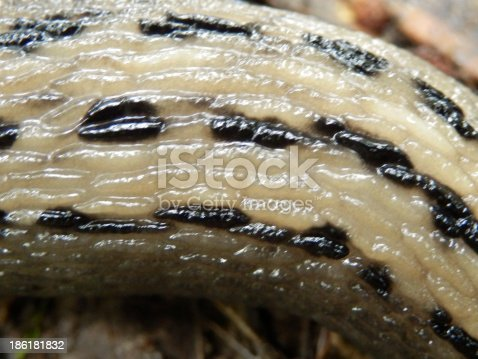 Close up of the body of the Ashy-Grey Slug (Limax cinereoniger),