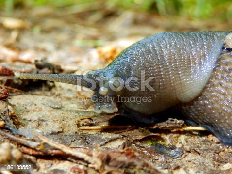Close up of the head of the Ashy-Grey Slug (Limax cinereoniger),