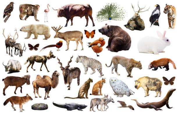 asia animaux isolé - organisme vivant photos et images de collection