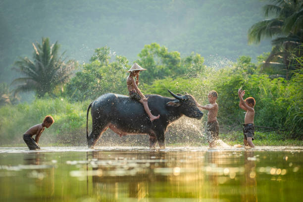 Asia children on river buffalo / The boys friend happy funny playing and shower animal buffalo water Asia children on river buffalo / The boys friend happy funny playing and shower animal buffalo water on river with palm tree tropical background in the countryside of living life kids farmer asian indochina stock pictures, royalty-free photos & images