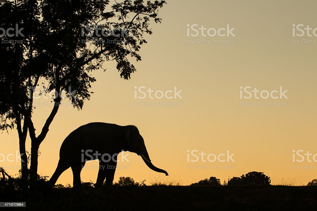 asia elephant in the forest at sunset stock photo