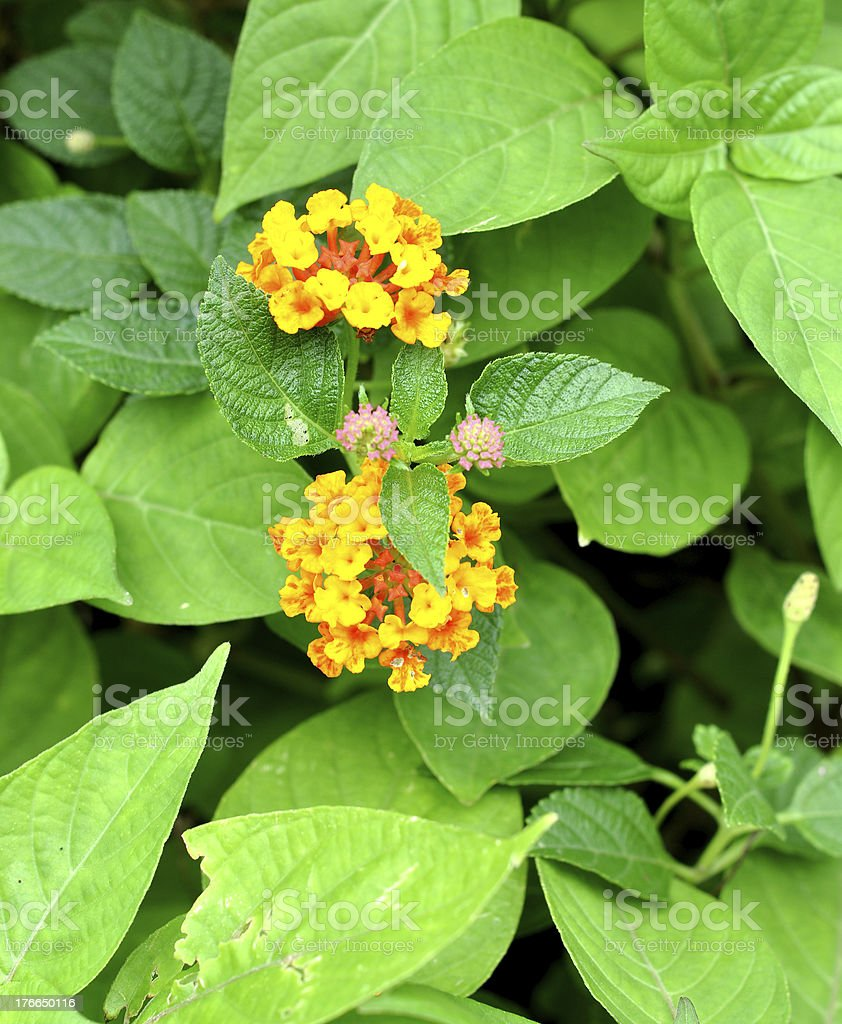 asia flower royalty-free stock photo