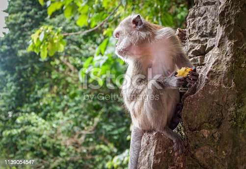 Asia monkey sitting on the rocks and eating food on nature park background