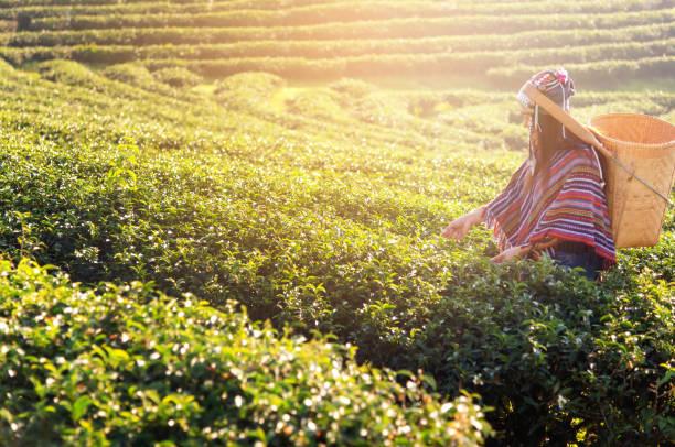 asia arbeiter landwirt frauen wurden teeblätter für traditionen morgens sonnenaufgang um tee plantage natur kommissionierung. lifestyle-konzept - darjeeling tee stock-fotos und bilder