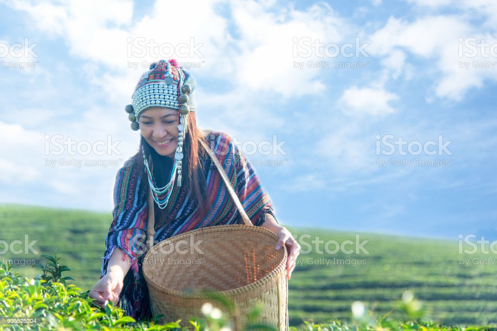 Asia worker farmer women were picking tea leaves for traditions in the sunrise morning at tea plantation nature. Lifestyle Concept stock photo