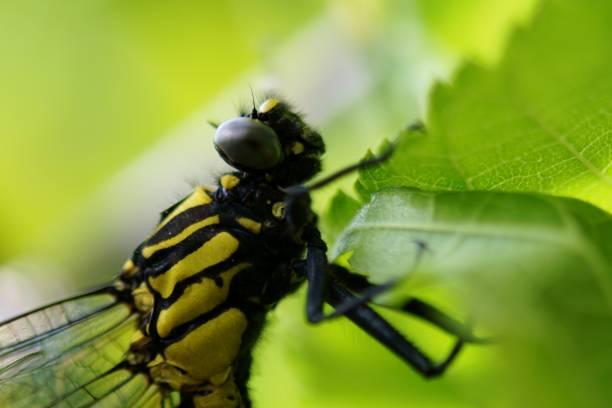 Asiagomphus melaenops – Foto