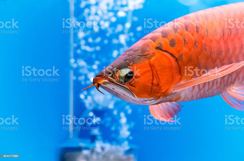 Asian arowana red fish,dragon fish stock photo