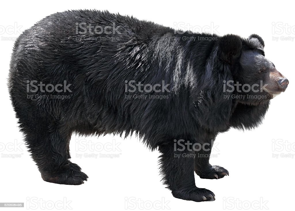 Asian Black Bear on white background stock photo