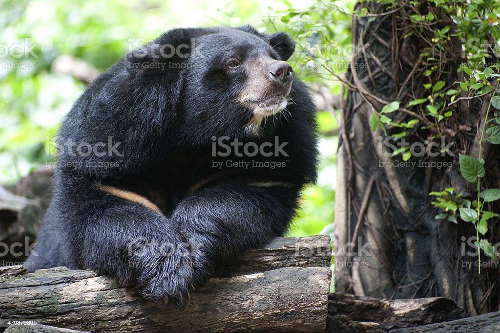 Asian black bear. stock photo