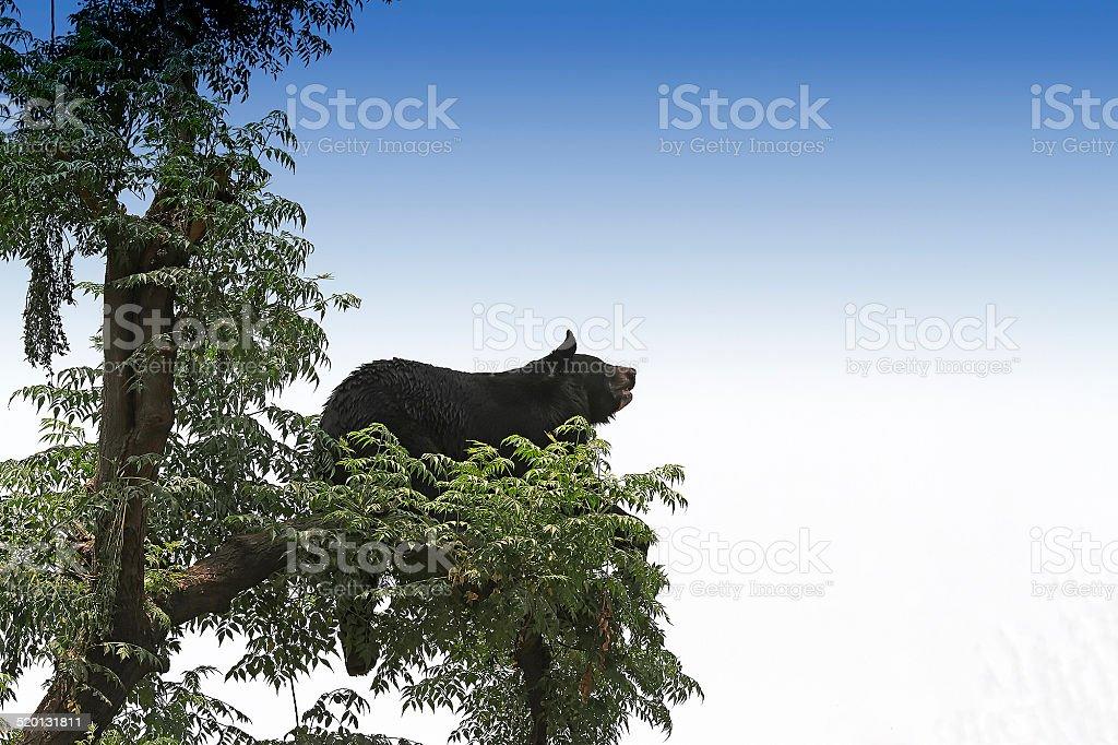 Asian black bear stock photo
