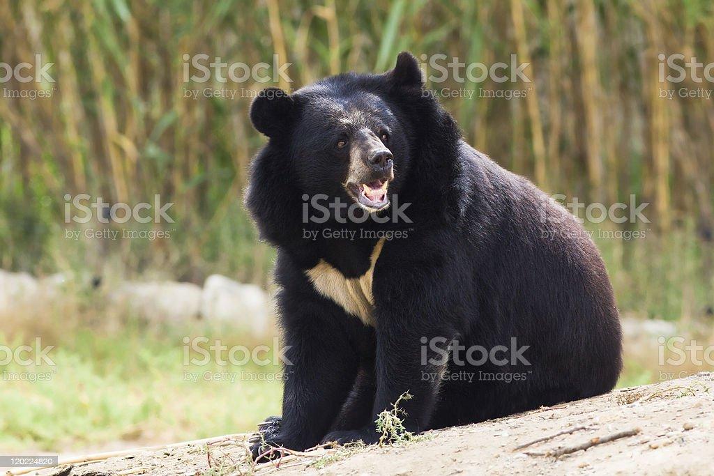 Asian Black Bear roaring stock photo