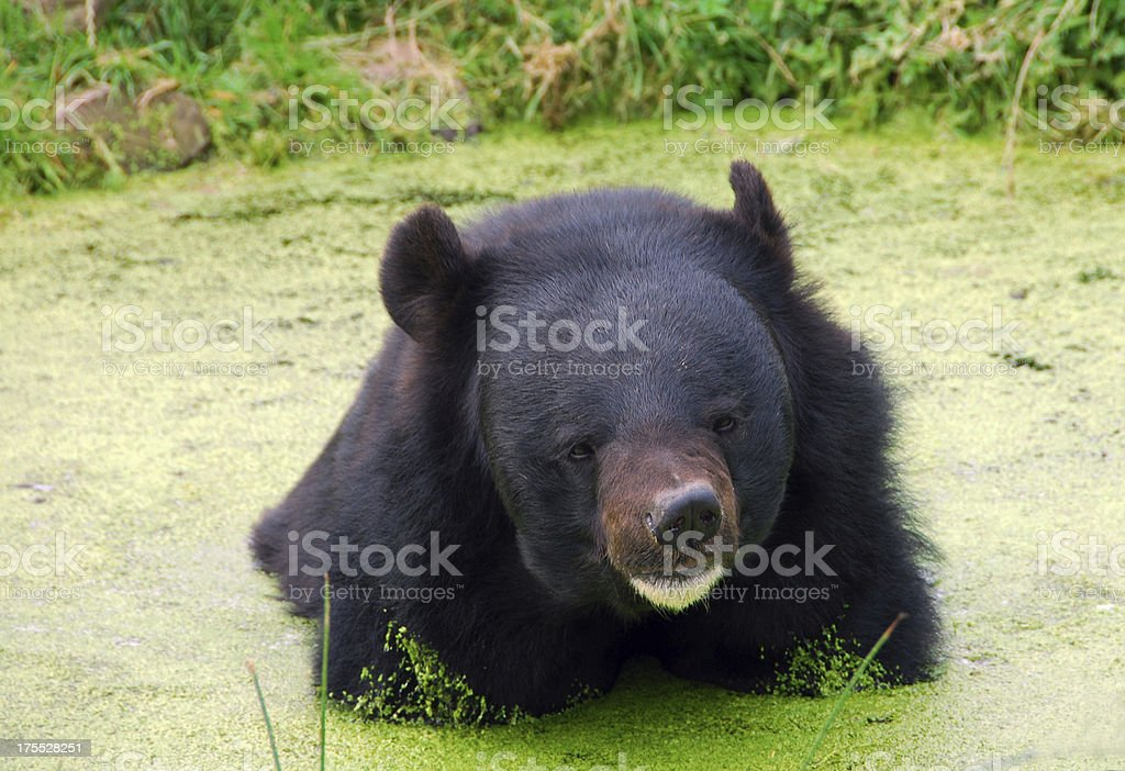 Asian black Bear taken a bath in the pond stock photo