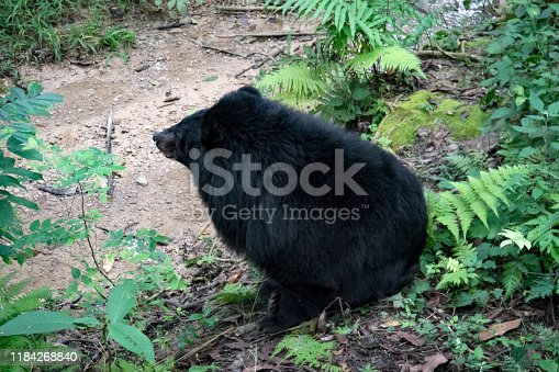 Asian black bear Ursus thibetanus also known as the moon bear and the white-chested bear relaxing in the zoo