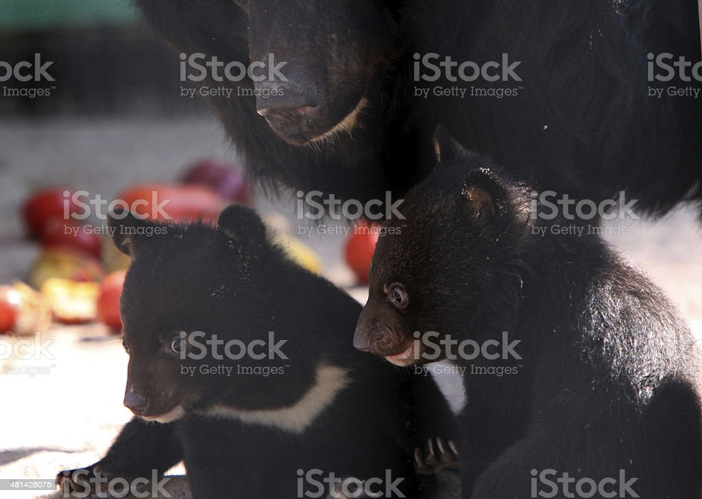 Asian black bears stock photo