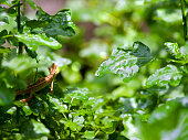 Asian chameleon or lizard, it lift head up on the bush in atmosphere after rain refreshing