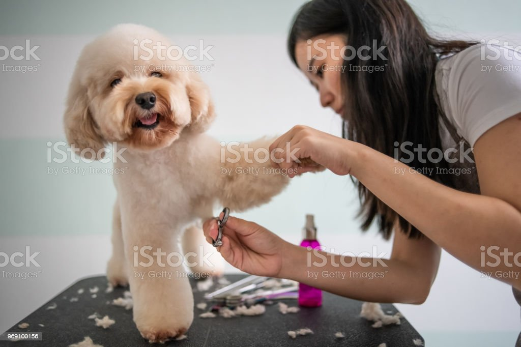 asian chinese female pet groomer with apron grooming a brown color toy poodle dog asian chinese female pet groomer with apron grooming a brown color toy poodle dog Adult Stock Photo