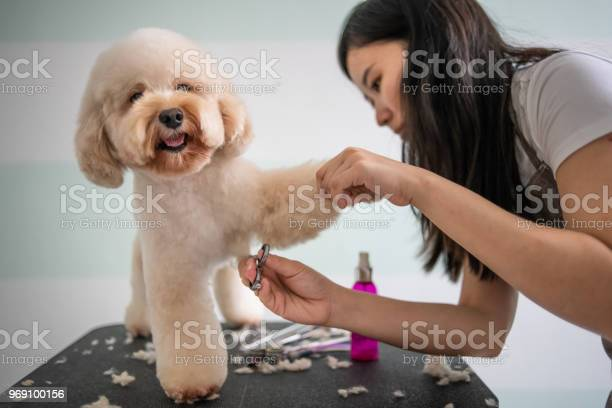 Asian Chinese Female Pet Groomer With Apron Grooming A Brown Color Toy Poodle Dog Stock Photo - Download Image Now