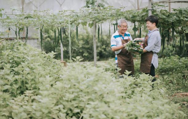 農場温室で彼女の父親を助けるアジアの中国の中年成人女性 - business malaysia ストックフォトと画像