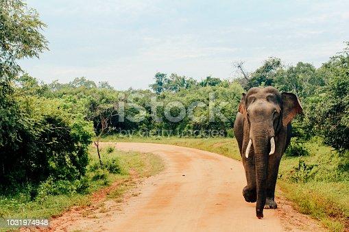 An Asian elephant can be seen walking along a dirt road at Yala National Park in Tissamaharama, Southern Province of Sri Lanka.