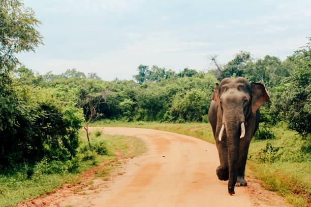 Asian Elephant at Yala National Park, Sri Lanka stock photo