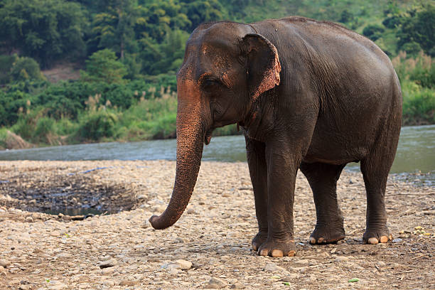 Asian Elephant by River stock photo