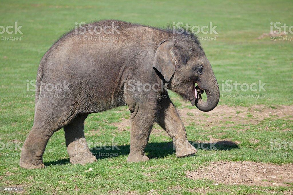 Asian Elephant calf stock photo