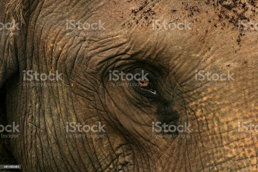 Asian elephant close-up von Gesicht und Augen. – Foto