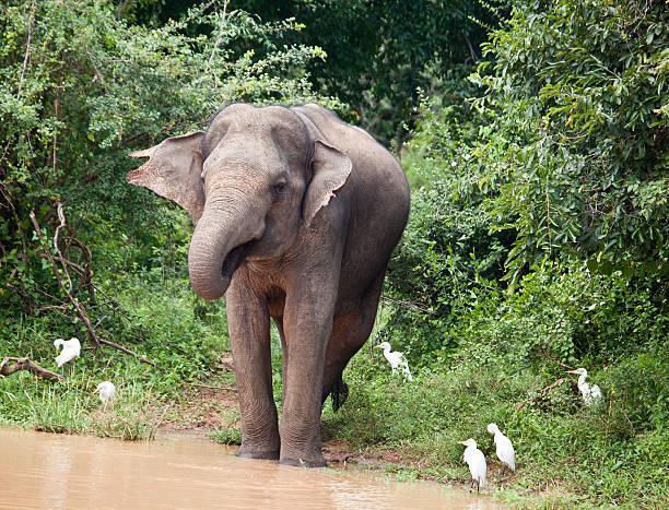 """Asian Elephant (Elephas maximus) drinking; Yala NP, Sri Lanka """"A wild Asian Elephant,"""" yala stock pictures, royalty-free photos & images"""
