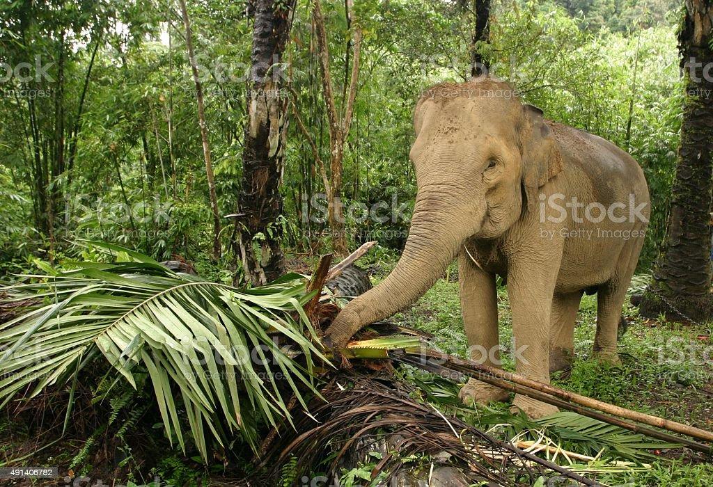 Asian elephant Essen Zweige und Blätter – Foto