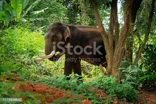 Asian Elephant - Elephas maximus in the thai jungle, also called Asiatic elephant, only living species of the Elephas, distributed from India, to Nepal, to Sumatra and to Borneo in the east.