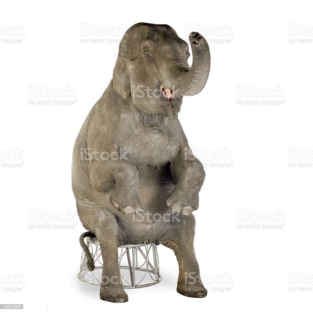 Asian Elephant - Elephas maximus (40 years) stock photo
