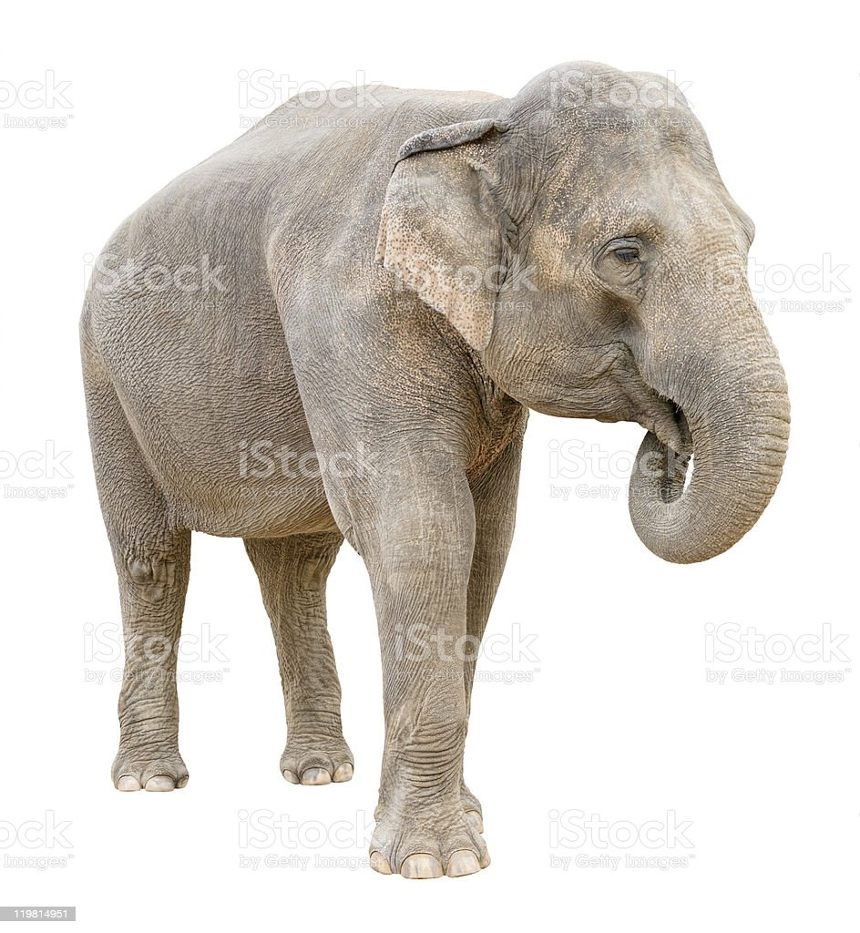 Asian elephant female telling secret stock photo