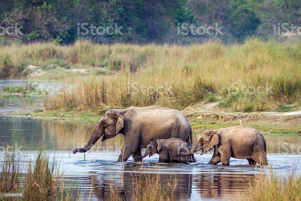Asian Elephant in Bardia national park, Nepal stock photo