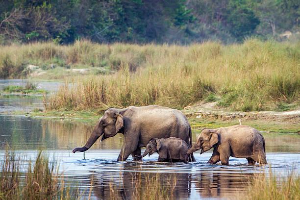Asian Elephant in Bardia national park, Nepal stock photo