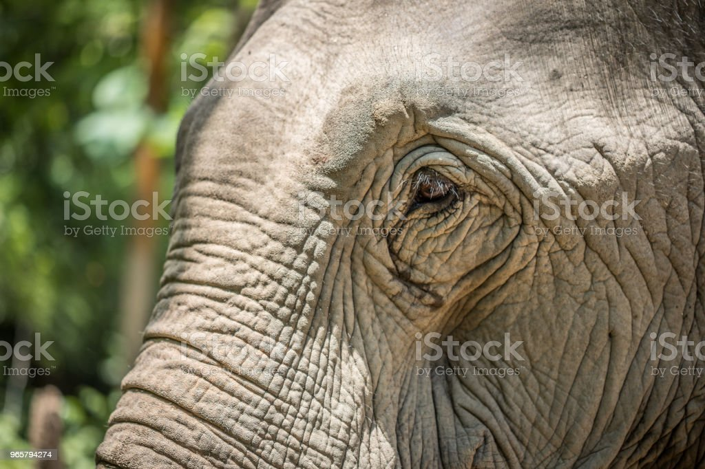 Asian Elephant in Laos stock photo