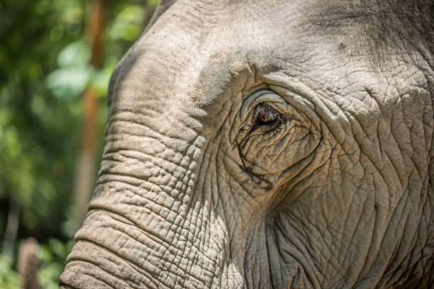 Asian Elephant in Laos stock photo