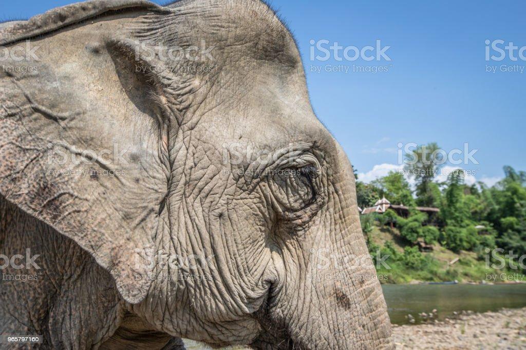 Asian Elephant in Laos - Royalty-free Animal Stock Photo