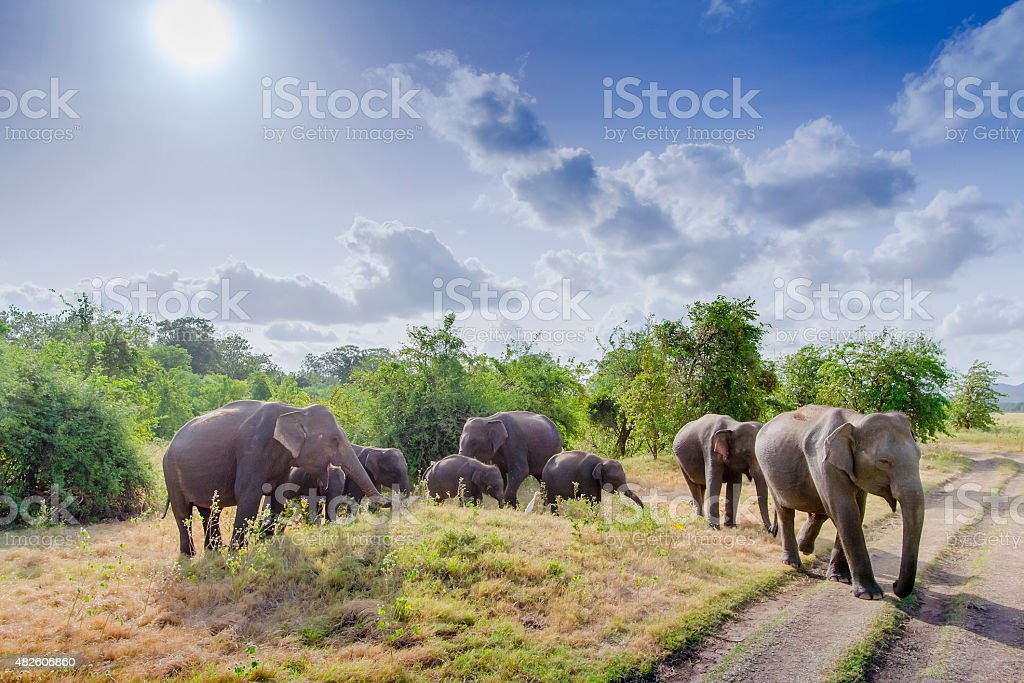 Asian elephant in Minneriya, Sri Lanka royalty-free stock photo