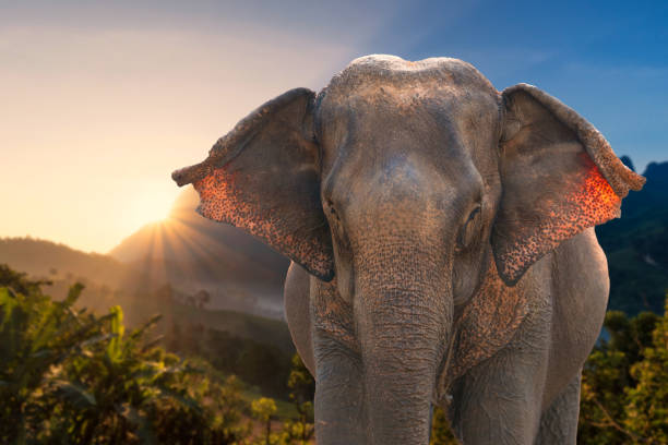 Asian Elephant in nature mountain with sunshine environment stock photo
